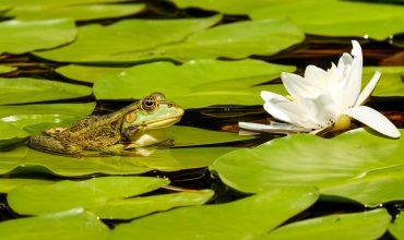 Kikker in het water. De Flow